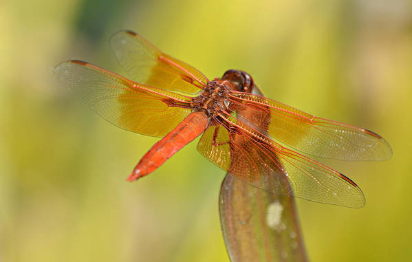 Flame Skimmer Dragonfly Art Print featuring the photograph Cinnamon Delight by Fraida Gutovich