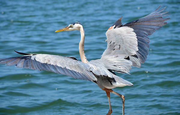 Great Blue Heron Art Print featuring the photograph Dancing By Water by Fraida Gutovich