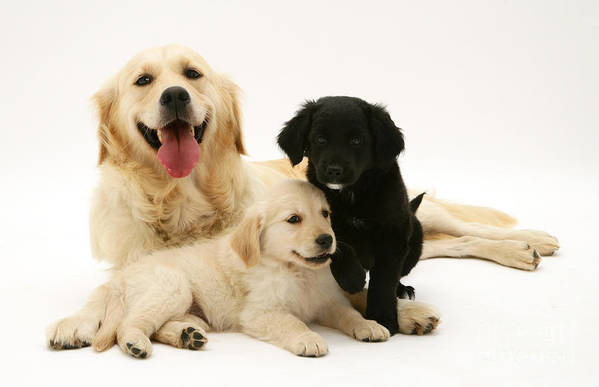 Animals Art Print featuring the photograph Golden Retriever And Puppies by Jane Burton