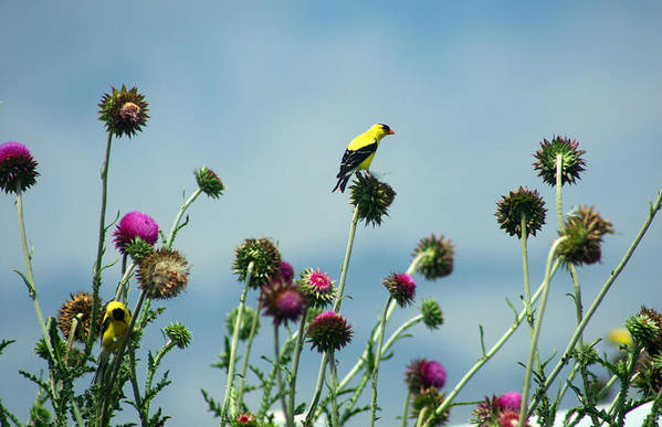 Beak Art Print featuring the photograph Goldfinches On Thistles by Emanuel Tanjala