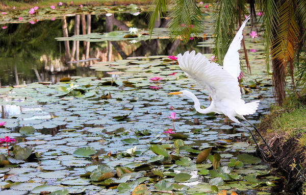 Great Egret Art Print featuring the photograph Great Egret In Flight by Suzie Banks