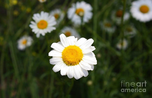 Daisy Art Print featuring the photograph Isn't That A Daisy by Tony Cooper