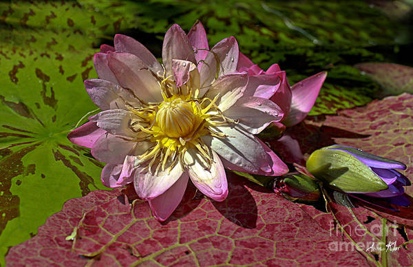 Pink Rose Waterlily Art Print featuring the photograph Lilies No.19 by Anne Klar