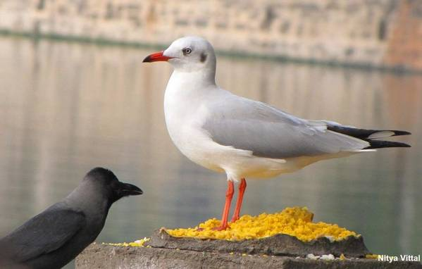Brown Headed Gull And Crow Art Print featuring the photograph Natural Contrast by Nitya Vittal