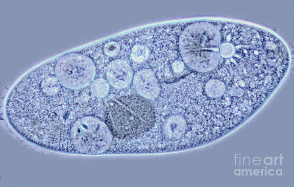 Light Microscopy Print featuring the photograph Paramecium Contractile Vacuoles by M. I. Walker