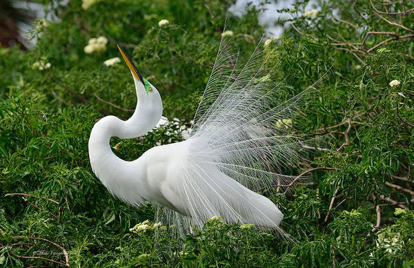 Great White Egret Art Print featuring the photograph Soft Display by Mike Fitzgerald