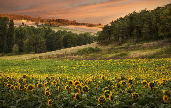 Horizontal Art Print featuring the photograph Sunrise Over Field Of Sunflowers by Verity E. Milligan
