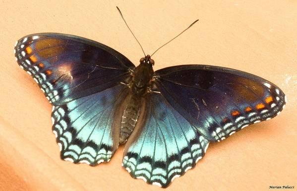 Butterflies Art Print featuring the photograph Delicate Beauty by Marian Palucci-Lonzetta