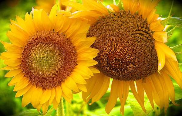 Floral Sunflowers Art Print featuring the photograph Sun Sisters by Priscilla Rink