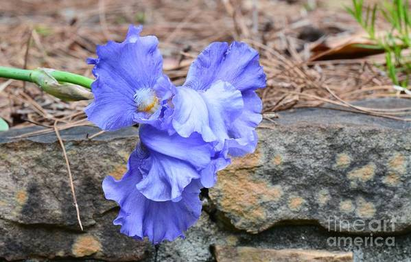 Blue Angel - Iris Art Print featuring the photograph Blue Angel - Iris by Maria Urso