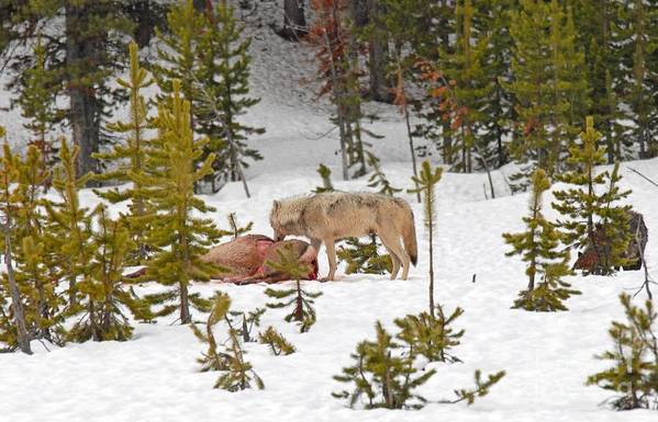 Wolf Art Print featuring the photograph Canyon Wolf On Elk Kill by Dennis Hammer