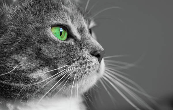 Cat Art Print featuring the photograph Cat With Green Eyes by Victor Vega