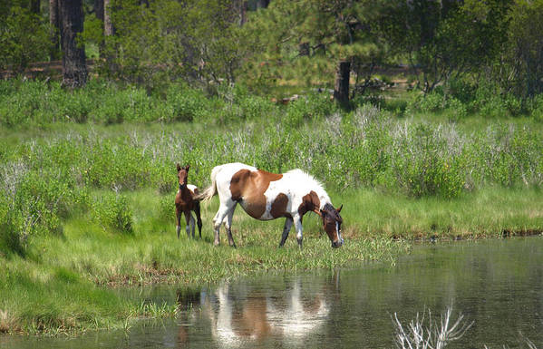 Pinto Art Print featuring the painting Curious Foal by Kim