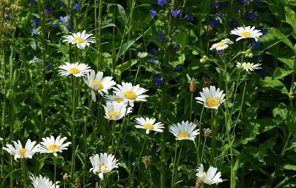 Nature Art Print featuring the photograph Daisy Patch by Lyle Crump