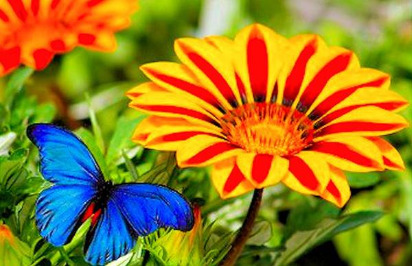 Gazania Art Print featuring the photograph Gazania And Blue Butterfly by G Berry