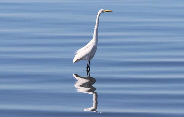 Great Egret Art Print featuring the photograph Great Egret - 2 by Christy Pooschke