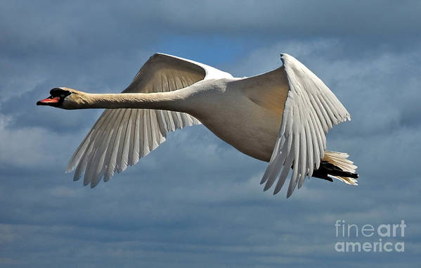 Swan Art Print featuring the photograph High Flying by Lois Bryan