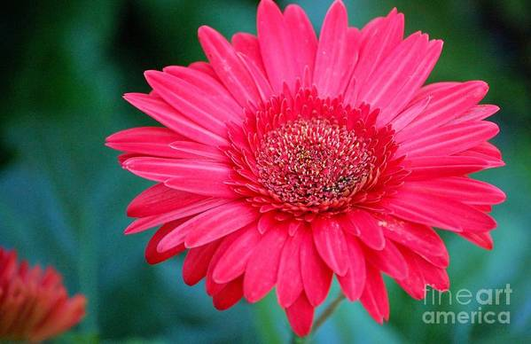 Gerber Daisy Art Print featuring the photograph In The Pink by Debbi Granruth