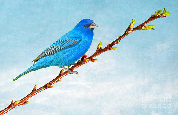 e9702065789 Indigo Bunting Art Print featuring the photograph Indigo Bunting by Laura D  Young
