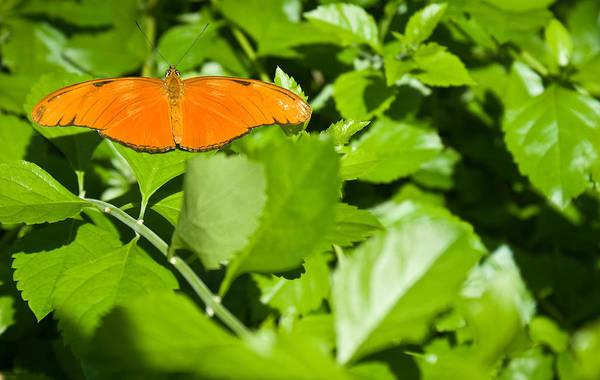Orange Art Print featuring the photograph Orange Butterfly On Foliage by Douglas Barnett