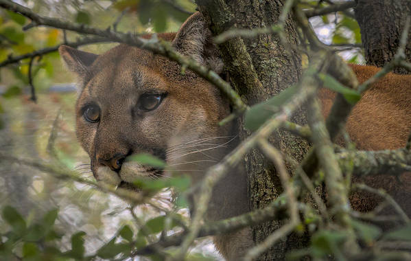 Fine Art Art Print featuring the photograph Puma Stalking by David Pine