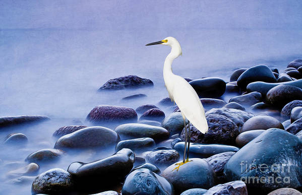 Snowy Egret Art Print featuring the photograph Snowy Egret On The Rocks by Laura D Young