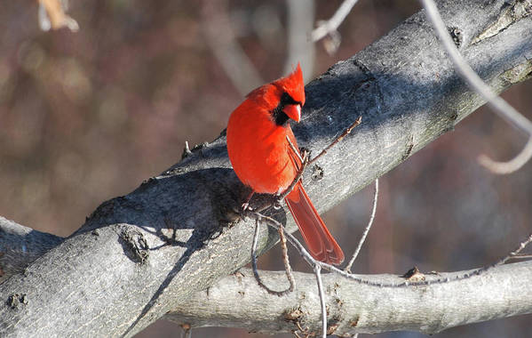 Cardinal Art Print featuring the photograph Take My Picture by Lori Tambakis