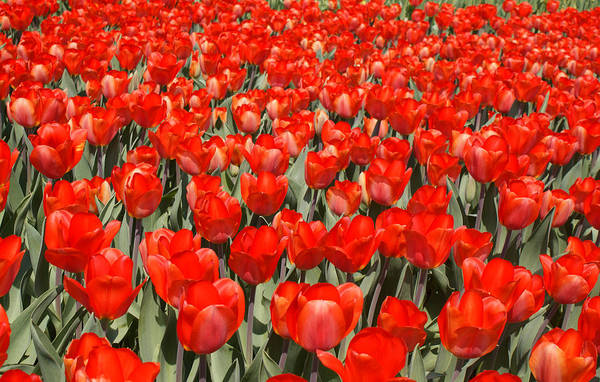 Flower Art Print featuring the photograph The Red Brigade by Kat Dee