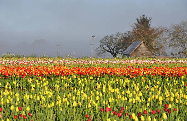 Tulips Art Print featuring the photograph Tulips Morning Landscape by Perl Photography