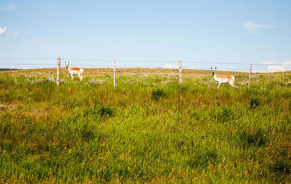 Pronghorn Art Print featuring the photograph Well Hello by Rosemary Legge