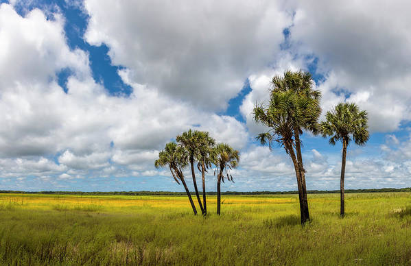 Photography Art Print featuring the photograph Palm Trees In The Field Of Coreopsis by Panoramic Images