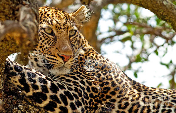 Camping Art Print featuring the photograph Wild Leopard Lying In Wait Atop A Tree by Travel Stock