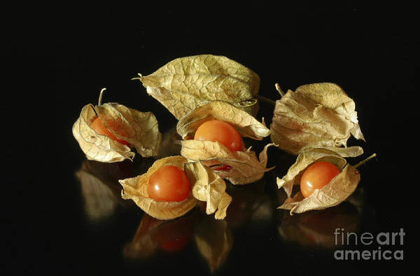Taste Art Print featuring the photograph A Taste Of Columbia Physalis Aztec Golden Goose Berry by Inspired Nature Photography Fine Art Photography