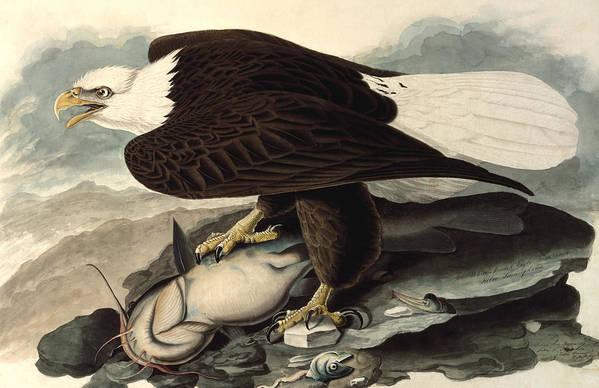 Audubon Art Print featuring the painting Bald Eagle by John James Audubon