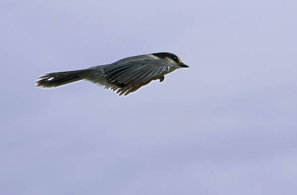 Grey Jay Art Print featuring the photograph Grey Jay In Flight by Scott Lenhart