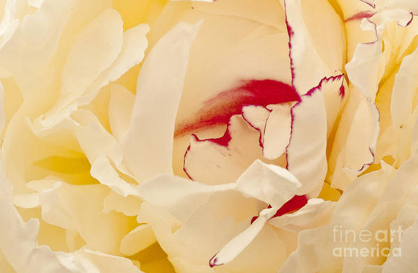 Flowers Art Print featuring the photograph Peony by Steven Ralser