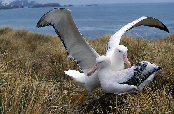 Adult Art Print featuring the photograph Albatros Royal Diomedea Epomophora by Gerard Lacz