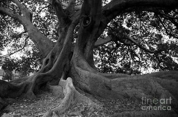 Tree Print featuring the photograph Ancestor by Amanda Barcon
