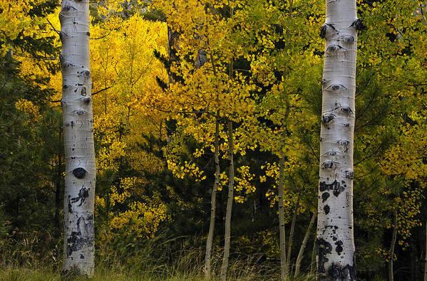 Aspen Art Print featuring the photograph Aspen Light by Dave Dilli
