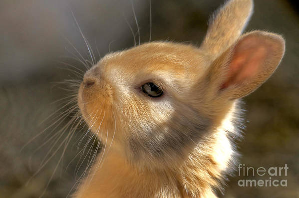 Rabbit Art Print featuring the photograph Baby Bunny by TJ Baccari
