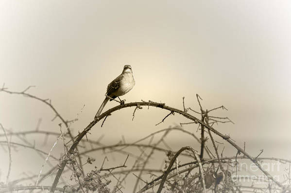 Songbird Art Print featuring the photograph Bird In The Briar by Artist and Photographer Laura Wrede
