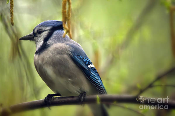 Bird Art Print featuring the photograph Blue Jay On A Misty Spring Day by Lois Bryan