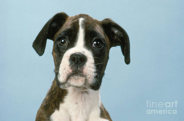 Boxer Art Print featuring the photograph Boxer Dog, Close-up Of Head by John Daniels