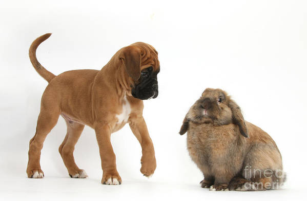 Nature Art Print featuring the photograph Boxer Puppy With Lionhead-lop Rabbit by Mark Taylor