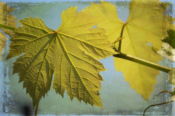 Grape Vine Leaves Print featuring the photograph Clinging To The Vine by Fraida Gutovich