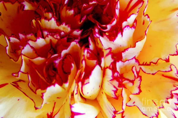 Carnation Art Print featuring the digital art Color In A Carnation by Pravine Chester