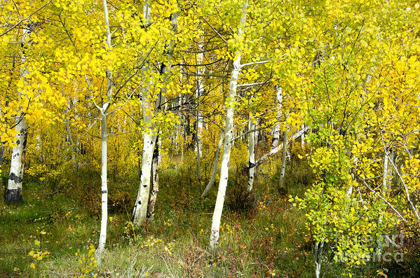 Fall Art Print featuring the photograph Colorado Autumn by Baywest Imaging