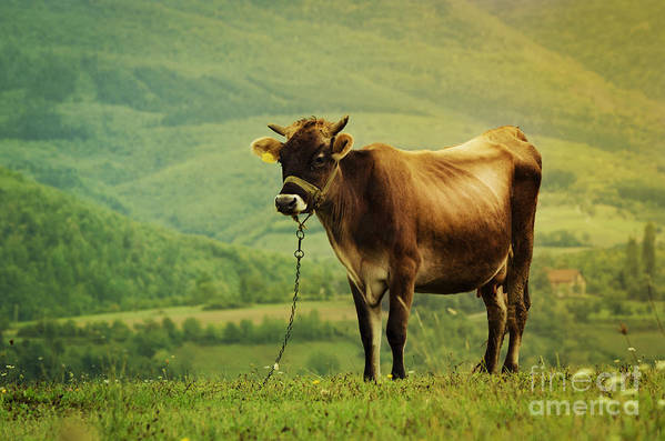 Cow Art Print featuring the photograph Cow In The Field by Jelena Jovanovic