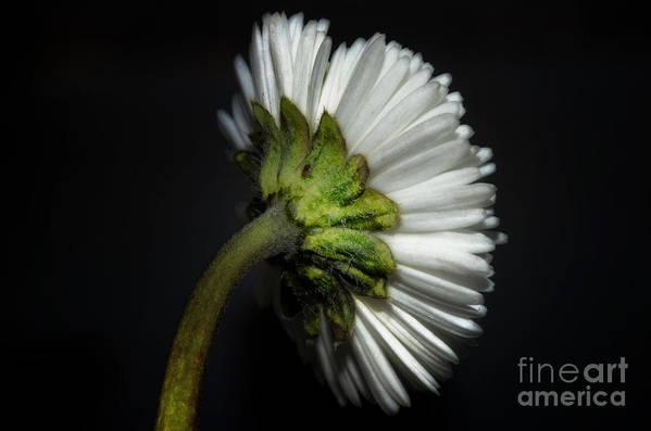 Flower Art Print featuring the photograph Daisy Flower by Mats Silvan