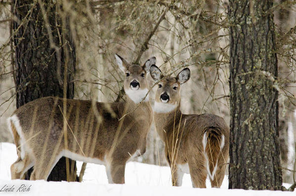Winter Art Print featuring the photograph Deers Of Winter by Linda Rich